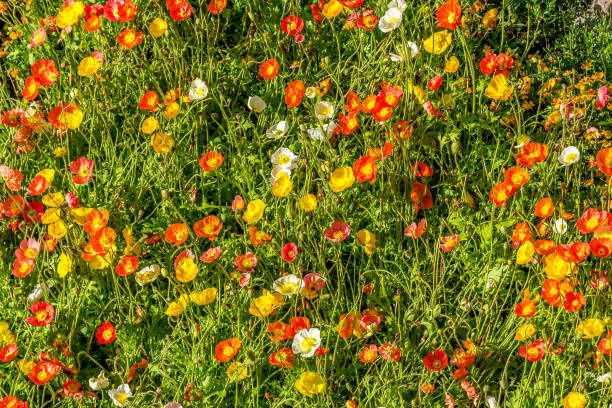 Bright colourful poppies stock photo