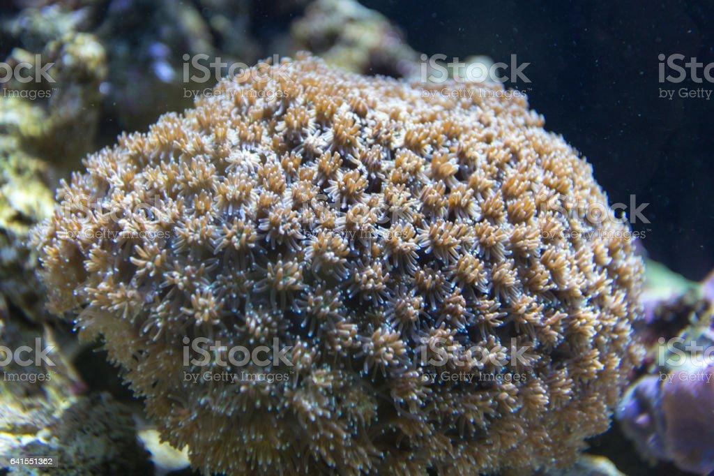 bright coral Goniopora stock photo