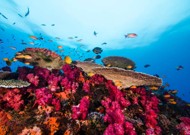 Bright coral reef scene of pink Thistle soft corals stock photo