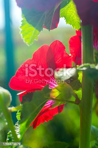 Bright crimson mallow flower in the sun. Blooming garden.
