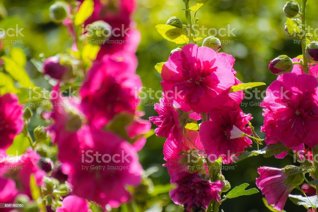 Photo libre de droit de Fleurs Mauve Pourpre Clair Sur Un ...