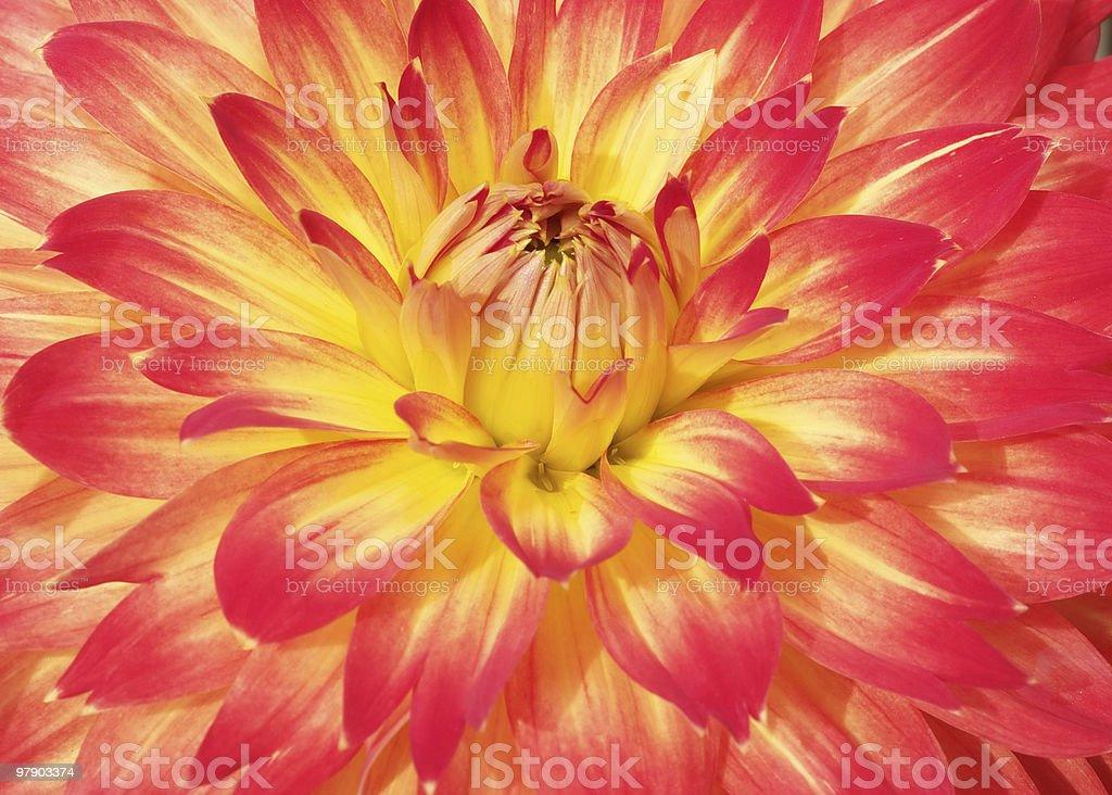 Bright dahlia royalty-free stock photo