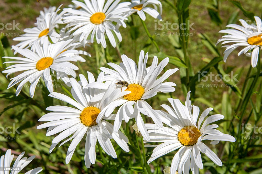 Bright Daisies field with a honey bee in the center stock photo