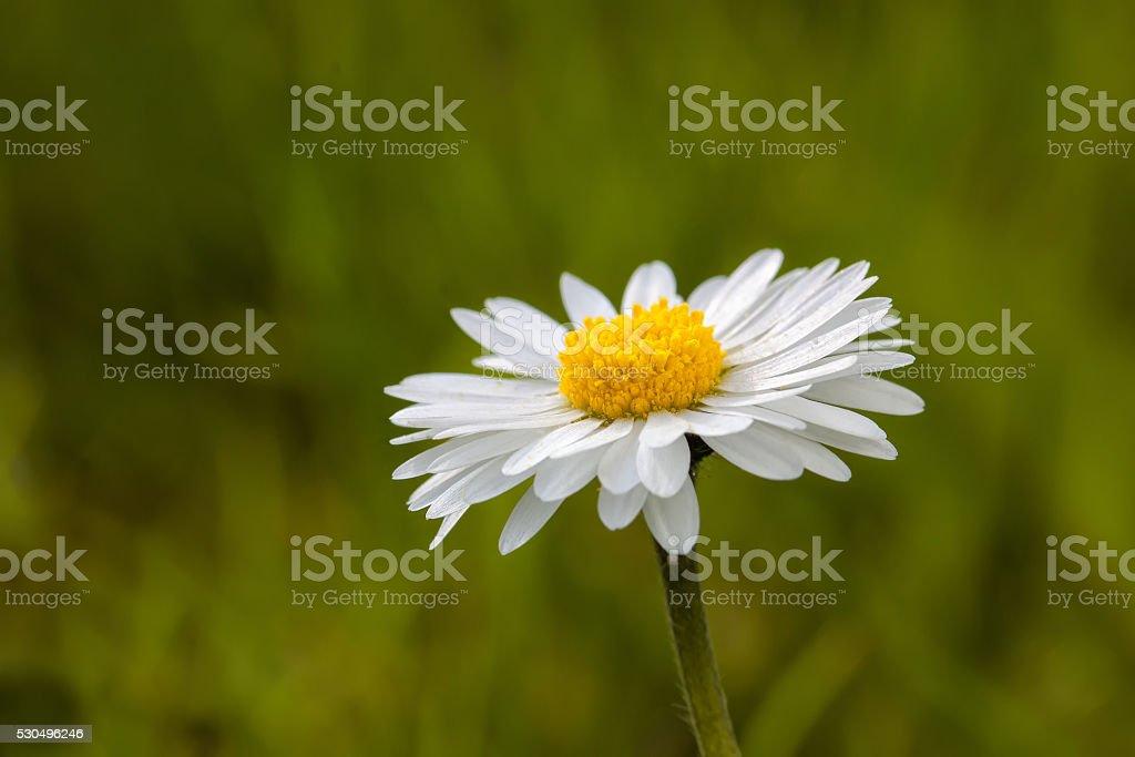 Bright daisies - macro of a freshly bloomed daisy stock photo