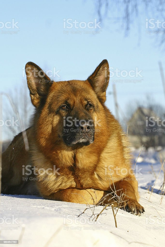 Bright dog lying on a snow royalty-free stock photo
