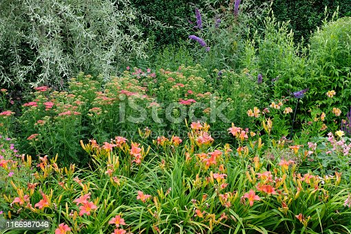 Flowerbed in full flower including Day Lilies, Buddleia and achillea.