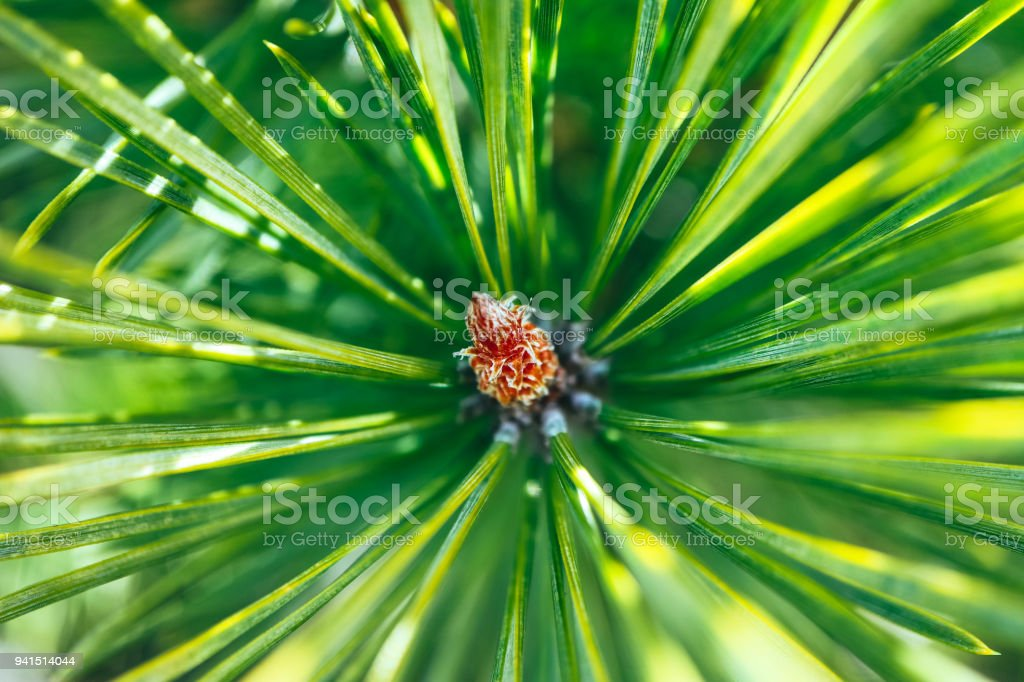 bright evergreen pine tree green needles branch. Fir-tree, conifer, spruce close up, blurred background. Europe, Balkan Mountains. stock photo