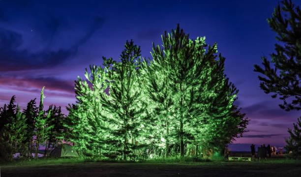 Bright evergreen trees at sundown stock photo