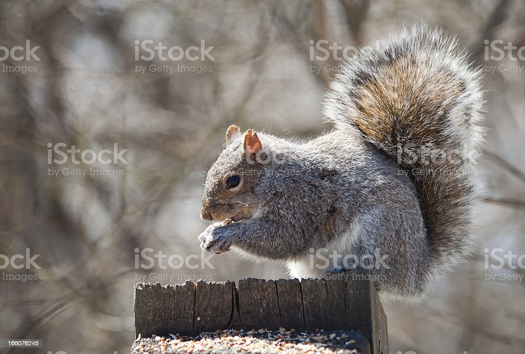Bright Eyed and Busy Tailed stock photo