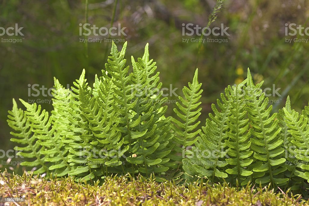bright fern royalty-free stock photo