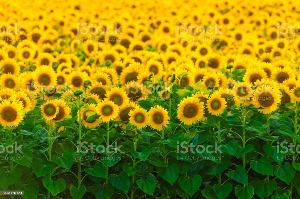 Bright field of sunflowers, focus on first row stock photo