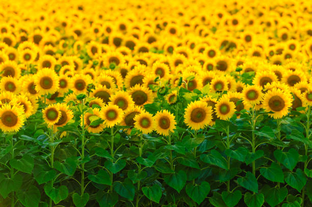 Bright field of sunflowers, focus on first row