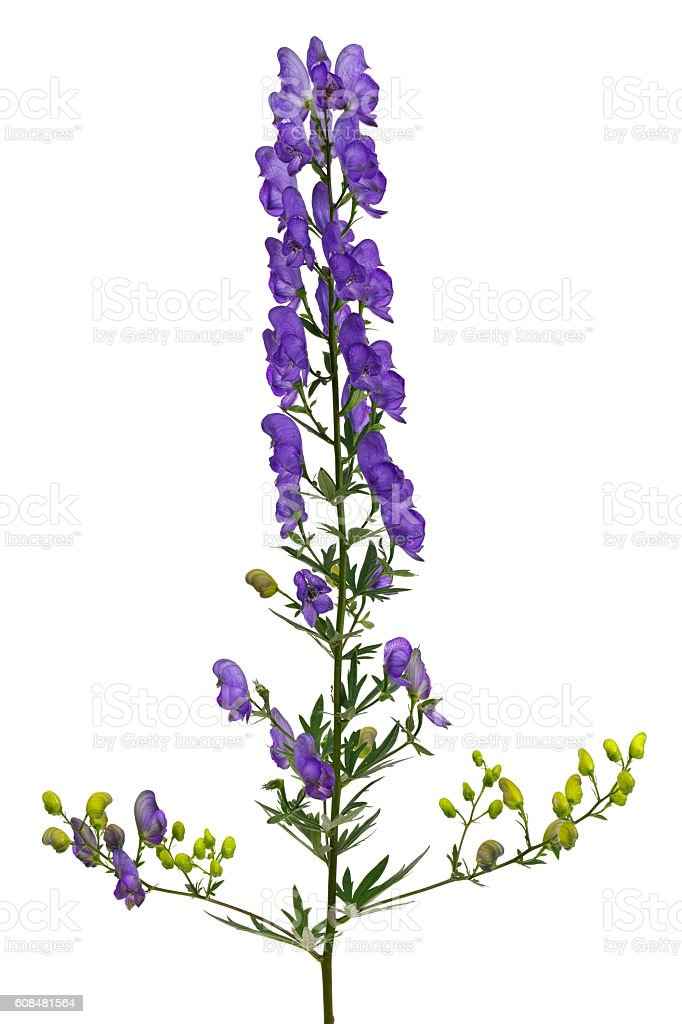 Bright flower Aconitum, photographed close-up. Isolated - Photo