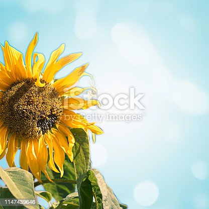 Bright flower of a sunflower on a blue abstract background. Festive background