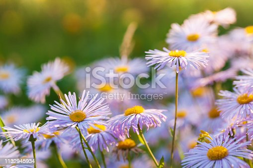 Bright flowers are in garden. Aster alpinus or Alpine aster is an ornamental plant native to the mountains of Europe