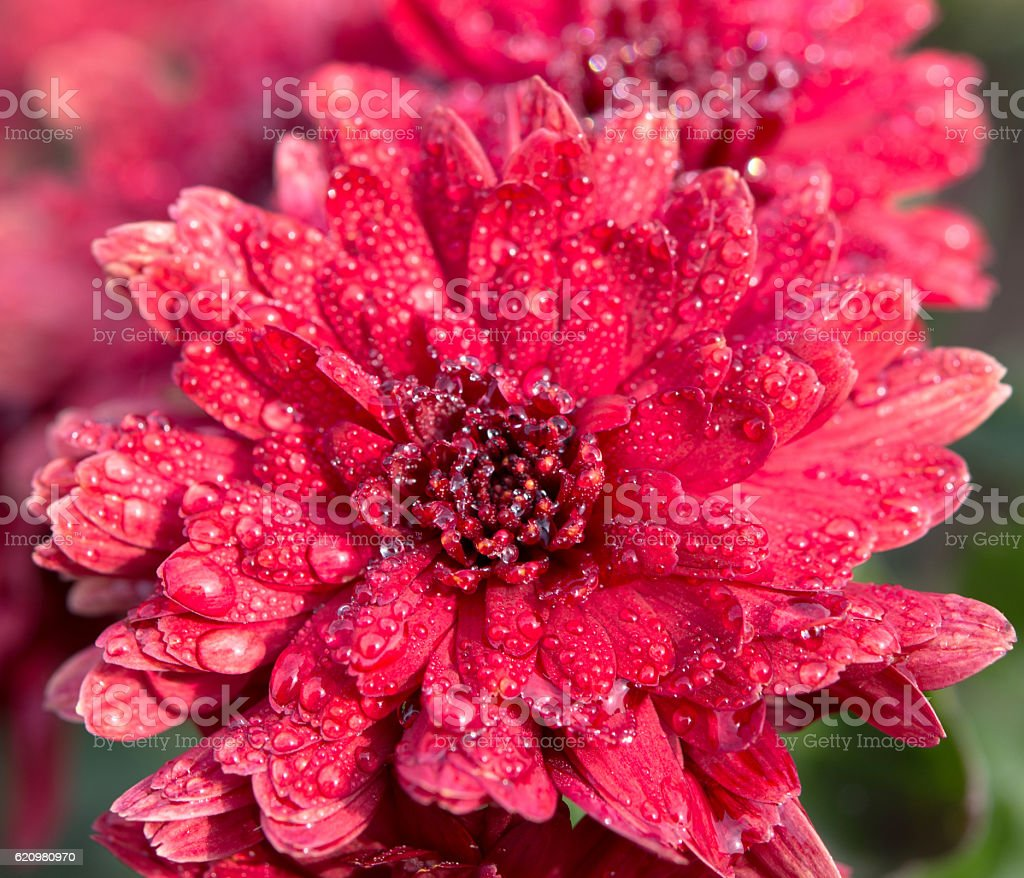 bright flowers in drops of dew foto royalty-free