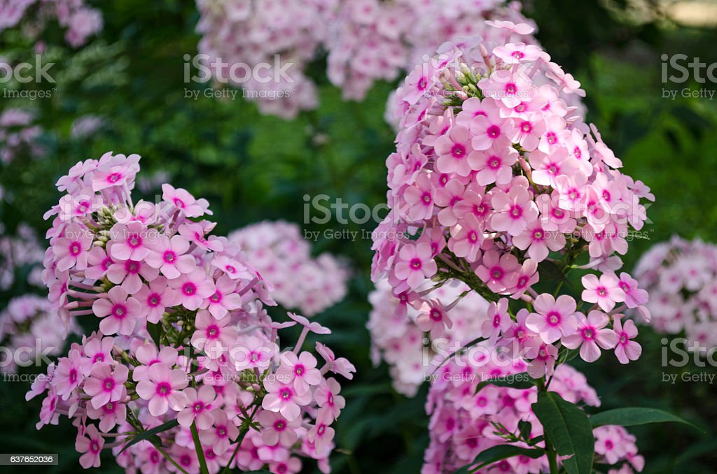 Bright flowers of Phlox on the background of greenery. stock photo