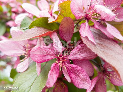 Bright flowers. Pink purple petals of a flowering tree. Spring. A close-up shot. Selective focus.