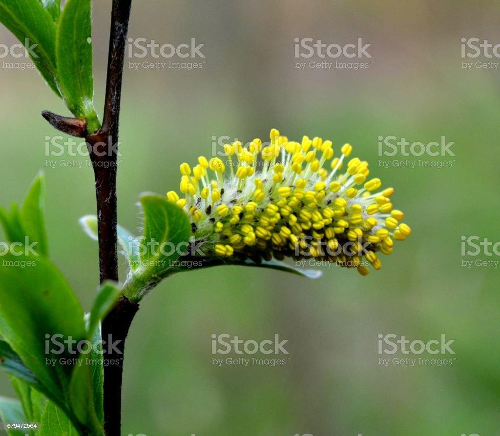 在公園裡明亮的蓬鬆黃柳耳環 免版稅 stock photo
