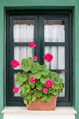 Bright geranium in front of a small green window