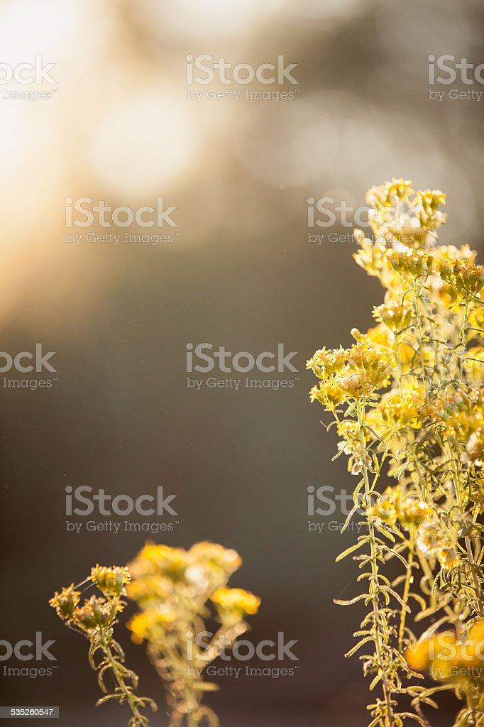 Jasny złoty roślin – zdjęcie