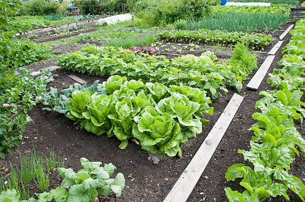 Bright green allotment garden bed and soil stock photo