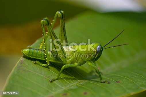 very green grashopper sitting on a leaf after a heavy rainfall