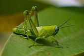 very green grashopper sitting on a leaf after a heavy rainfall