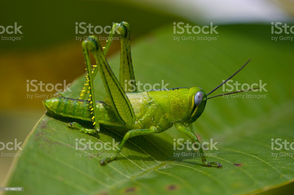A bright green grasshopper on an leaf stock photo