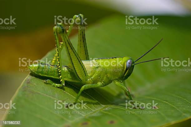 Photo of A bright green grasshopper on an leaf