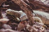 Bright green iguana lizards bask in the sun