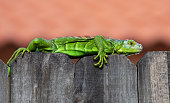 Bright green iguana with remnants of shedding skin on its head straddles the top of a wood fence against a blurred peach colored background.