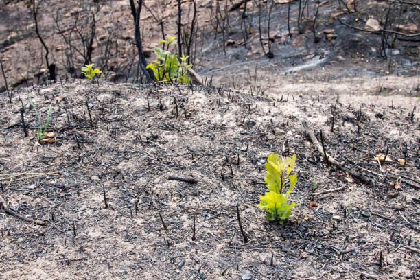 helder groene onrijpe scrub eik in de as van een brand - herbebossing stockfoto's en -beelden
