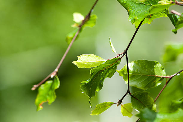 Bright green leaves from a beech tree