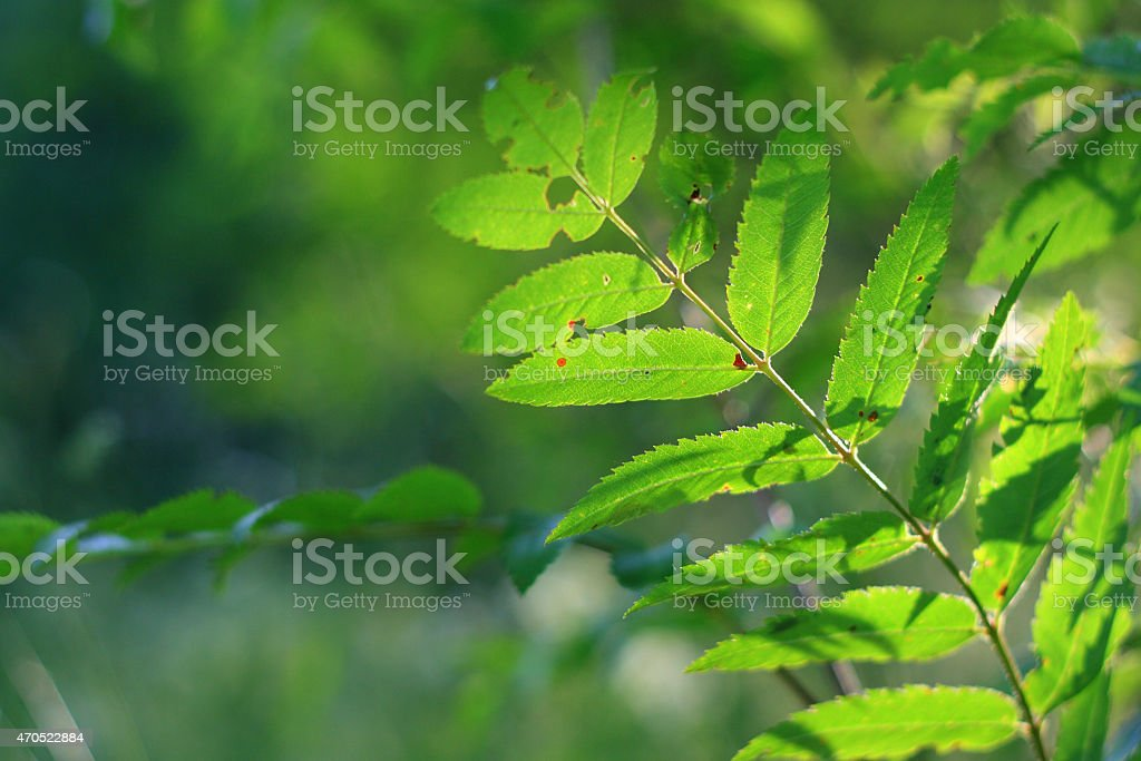 Bright green leaves lit from behind stock photo