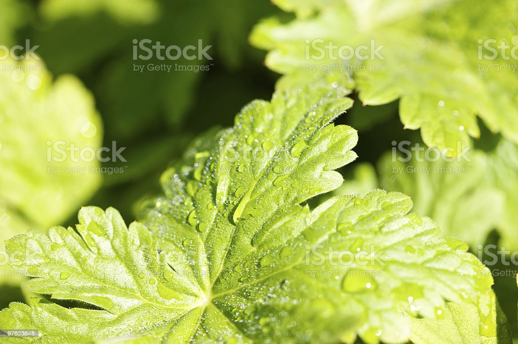 Bright green leaves with raindrops royalty-free stock photo