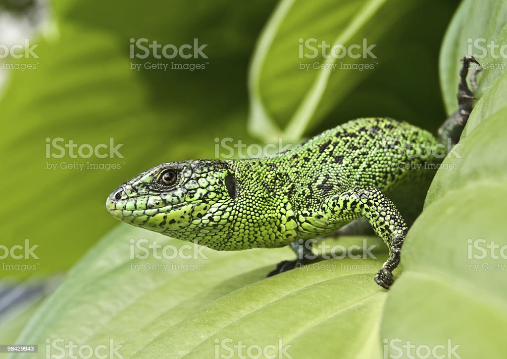 Bright green lizard in leafs royalty-free stock photo