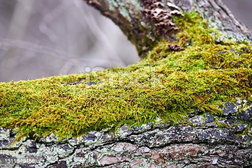 Beautiful bright green moss covering tree trunk in forest. Wood full of moss texture in nature for wallpaper. Close up, macro view.