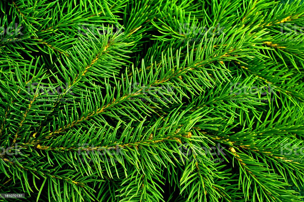 Bright green pine needles of a Christmas tree royalty-free stock photo