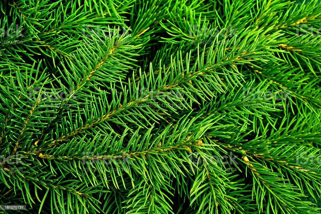 Bright green pine needles of a Christmas tree stock photo