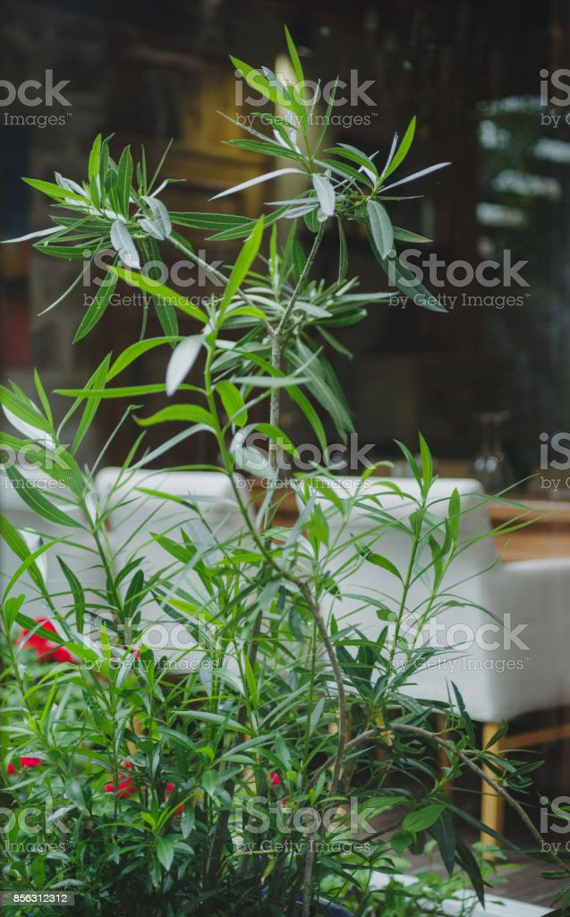 A close-up picture of a fresh high houseplant. A bright green plant...