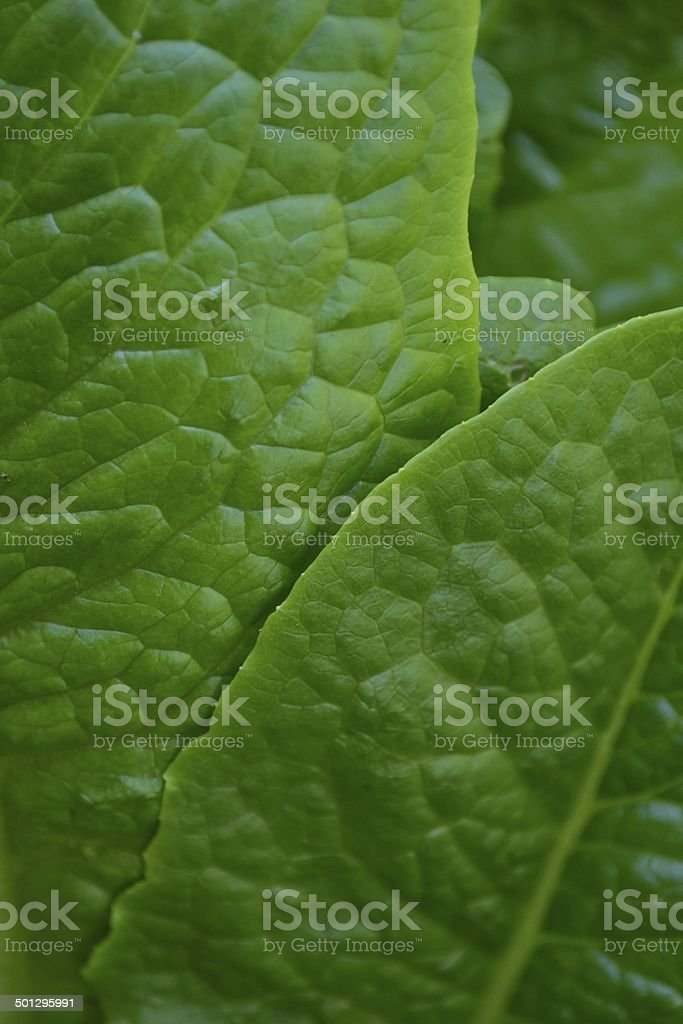 Bright Green Romaine Lettuce Leaves stock photo