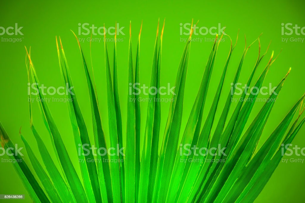 Bright green spread palm leaf on green background. stock photo