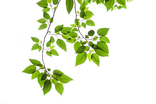 Bright green Spring leaves on a white background