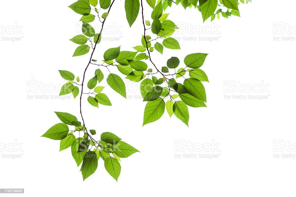 Bright green Spring leaves on a white background stock photo
