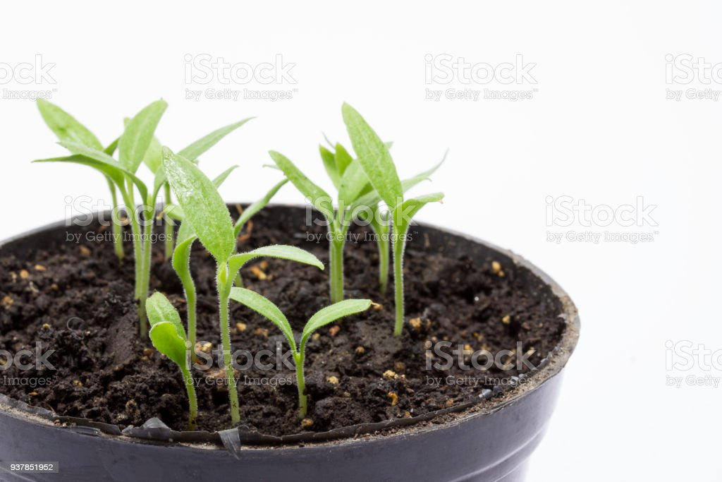 bright green sprouts eggplant in a pot closeup on a gray background stock photo