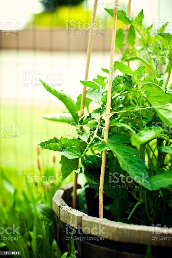 Bright Green Tomato Plant Grows Tall royalty-free stock photo