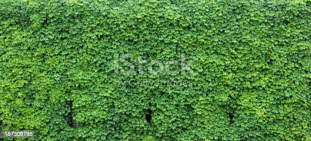 Wall of ivy provides a lush, green backdrop.