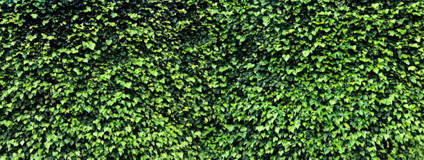 Bright green wall of ivy leaves stock photo stock photo