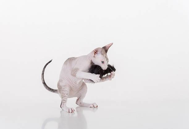 Bright hairless very young peterbald sphynx cat on white table picture id589564800?b=1&k=6&m=589564800&s=612x612&w=0&h= j cnsawamkffhc9l4zdarziumhesytzi3xsay9ltcc=